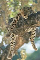 樹上で休むヒョウのオス