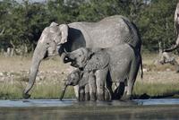 水場で水を飲むアフリカゾウの家族