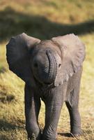 鼻を持ち上げるアフリカゾウの赤ちゃん