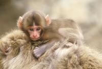 母親の背中に乗るニホンザルの赤ちゃん