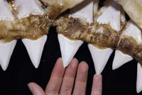 体長6メートルのホホジロザメ(ホオジロザメ)の上顎の歯