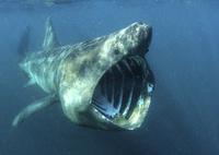 大きく口を開けて動物プランクトンを食べるウバザメ 32236000180  写真素材・ストックフォト・画像・イラスト素材 アマナイメージズ