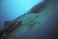 ジンベエザメの腹部にくっつくコバンザメ 32236000184  写真素材・ストックフォト・画像・イラスト素材 アマナイメージズ