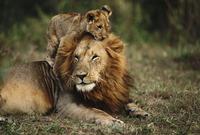 オスのライオンにじゃれつく子