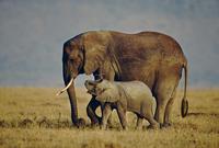 アフリカゾウの母子