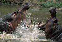 水の中でケンカするカバ
