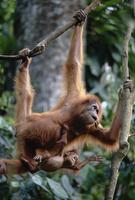 木からぶら下がるスマトラオランウータンの母と子(生後7ヶ月)