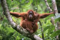 木の上のスマトラオランウータンの母と子