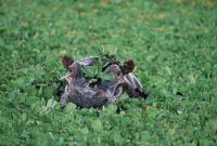 水草の中から顔を出すカバ