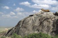 岩の上でいなくなった子を呼ぶライオンのメス