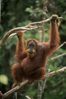 木の上のスマトラオランウータンのオス 32236000252| 写真素材・ストックフォト・画像・イラスト素材|アマナイメージズ