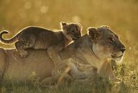 母の背で休むライオンの子