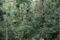 熱帯雨林で木に登るスマトラオランウータン