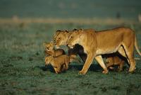 一緒に歩く二組のライオンの母子