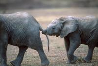 前のゾウの尻尾を鼻でつかみ、後ろを歩くアフリカゾウの子