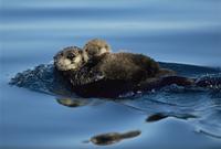 子供を抱いて水面を泳ぐラッコ