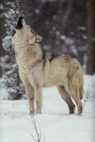 雪の中で遠吠えするタイリクオオカミ 32236000329| 写真素材・ストックフォト・画像・イラスト素材|アマナイメージズ