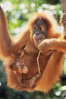 生後9ヶ月の赤ちゃんを抱いたスマトラオランウータンのメス