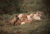 授乳するライオンのメス 32236000338  写真素材・ストックフォト・画像・イラスト素材 アマナイメージズ