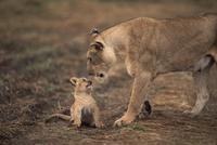 顔を寄せ合うライオンのメスと子