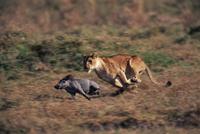 イボイノシシを狩るライオンのメス