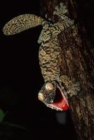 口を開けて赤い舌を見せ威嚇するマダガスカルヘラオヤモリ 32236000344| 写真素材・ストックフォト・画像・イラスト素材|アマナイメージズ