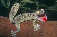 口を開けて赤い舌を見せ威嚇するマダガスカルヘラオヤモリ 32236000347| 写真素材・ストックフォト・画像・イラスト素材|アマナイメージズ
