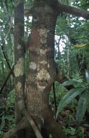 木の幹に隠蔽擬態するマダガスカルヘラオヤモリ