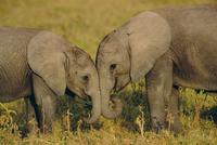 顔を寄せ合う2頭のアフリカゾウの子