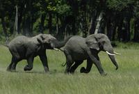 追いかけっこをして遊ぶ若いアフリカゾウのオス