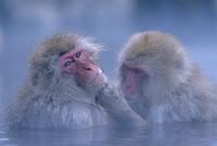 温泉で毛繕いするニホンザル