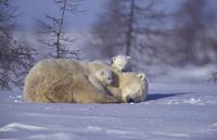 生後3ヶ月の子供たちと雪の上で休むホッキョクグマ(シロクマ) 32236000374  写真素材・ストックフォト・画像・イラスト素材 アマナイメージズ