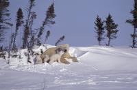 生後3ヶ月の子供たちと雪の上で休むホッキョクグマ(シロクマ) 32236000375  写真素材・ストックフォト・画像・イラスト素材 アマナイメージズ
