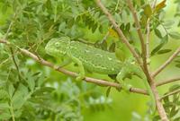 枝の上のチチュウカイカメレオンのメス