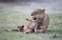 母親にじゃれつくライオンの子