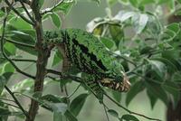 樹上のコブハナカメレオン(グロビフェルカメレオン)