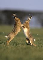 前足を使ってケンカするヤブノウサギ