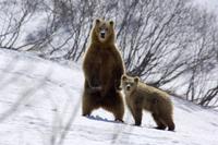 立ちあがったヒグマの母親と子供 32236000401  写真素材・ストックフォト・画像・イラスト素材 アマナイメージズ