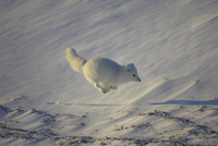 凍ったケルプの上を走るホッキョクギツネ