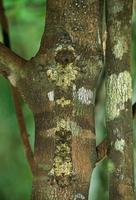 木の幹に隠蔽擬態するマダガスカルヘラオヤモリ 32236000419| 写真素材・ストックフォト・画像・イラスト素材|アマナイメージズ