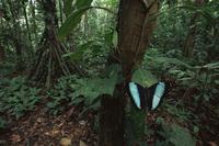 降雨林内のアキレスモルフォ