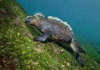 水中で海藻を食べるガラパゴスウミイグアナ 32236000422| 写真素材・ストックフォト・画像・イラスト素材|アマナイメージズ