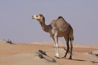 砂漠のヒトコブラクダ