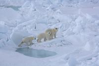 氷の上を歩くホッキョクグマ(シロクマ)の母子