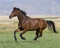 草地を走るウマ(ウェストファリア種)の去勢馬