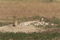 巣穴の前で対峙するプレーリードッグとアナホリフクロウ