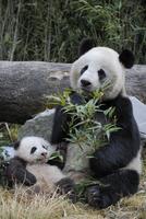 ササを食べるジャイアントパンダの母親と赤ちゃん