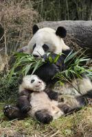 ササを食べるジャイアントパンダの母親と赤ちゃん 32236000483  写真素材・ストックフォト・画像・イラスト素材 アマナイメージズ