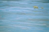 溶けはじめた氷の上を子を連れて渡るホッキョクグマ 32236000535  写真素材・ストックフォト・画像・イラスト素材 アマナイメージズ