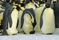 卵を抱卵中のコウテイペンギンのオス(転乱行動)